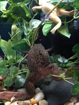 Pretty big frogs